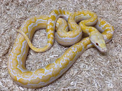 Picture of Jay's Pick Male Anthrax White Albino Reticulated Python