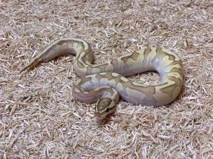 Picture of Female Lesser Enchi Fire Het Clown Ball Python
